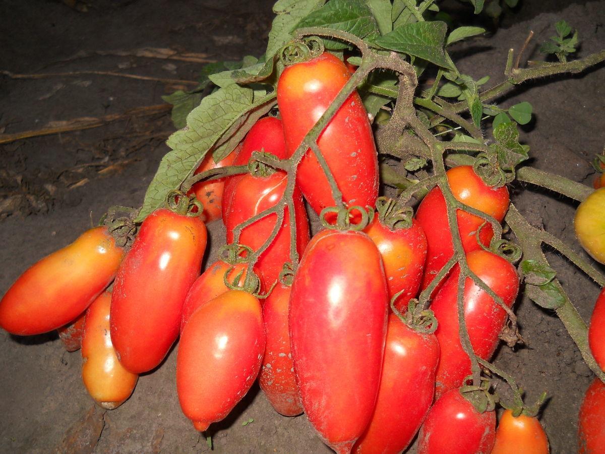 томаты дамский угодник