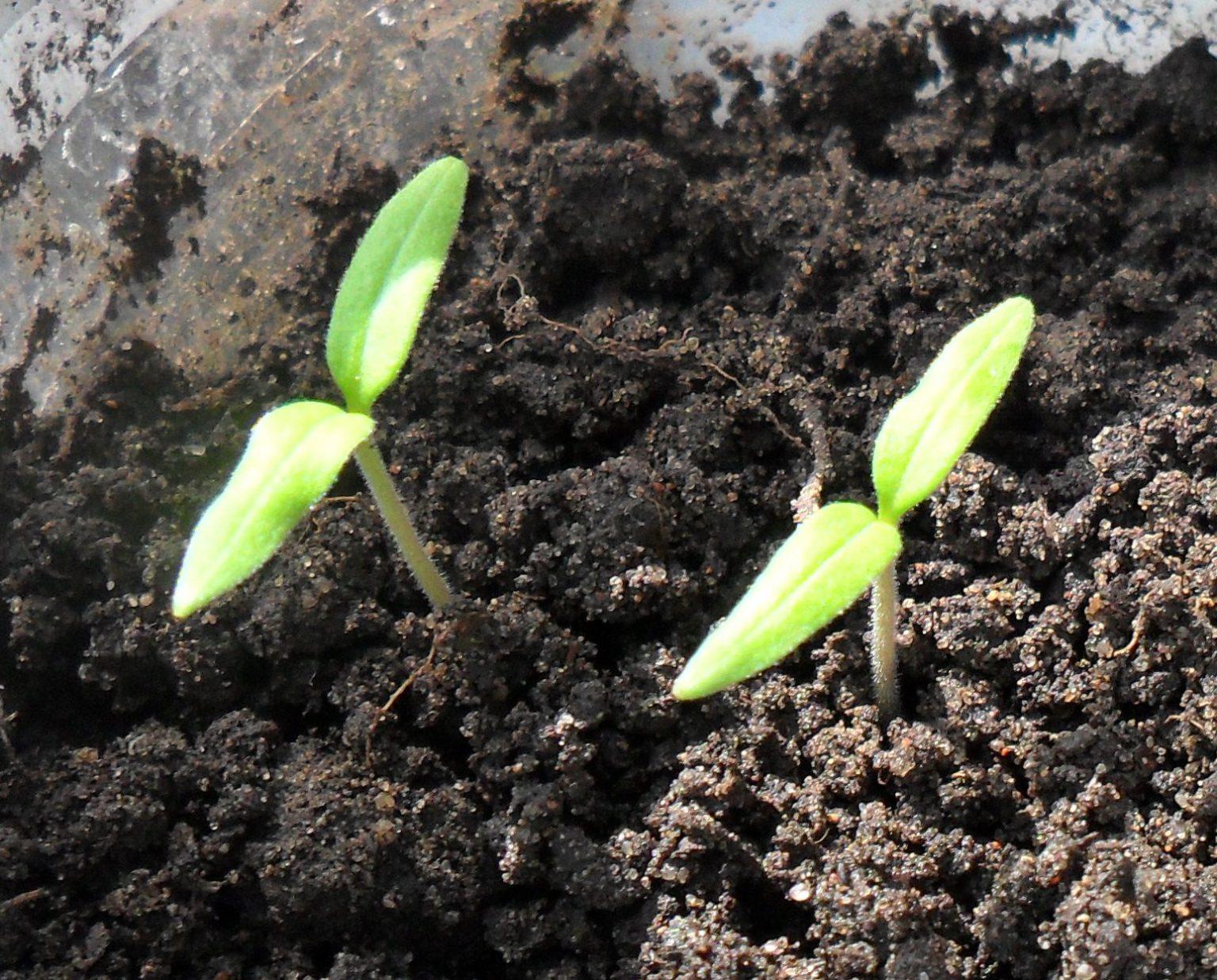 на какой день прорастают семена томатов