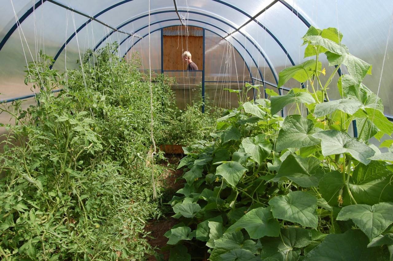 как вырастить огурцы и помидоры в одной теплице