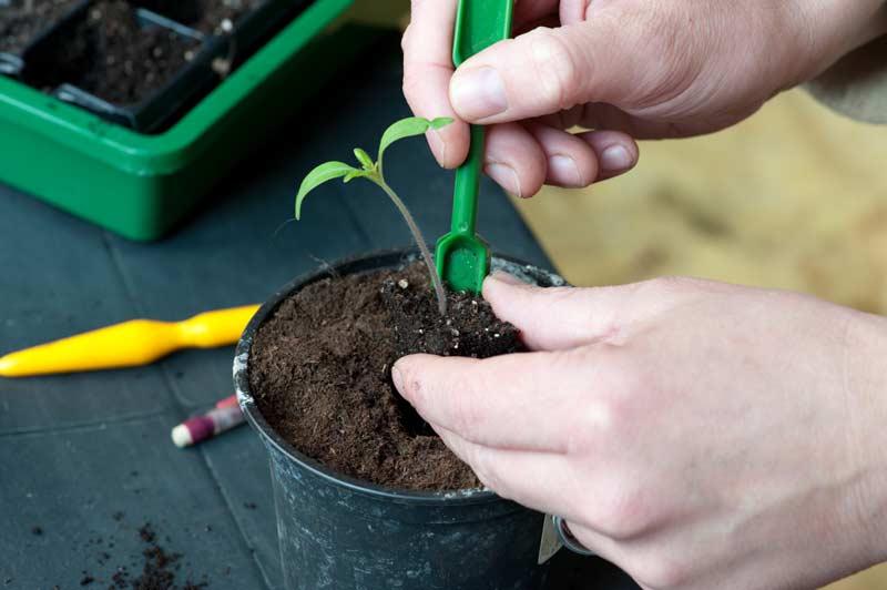 пикирование рассады томата