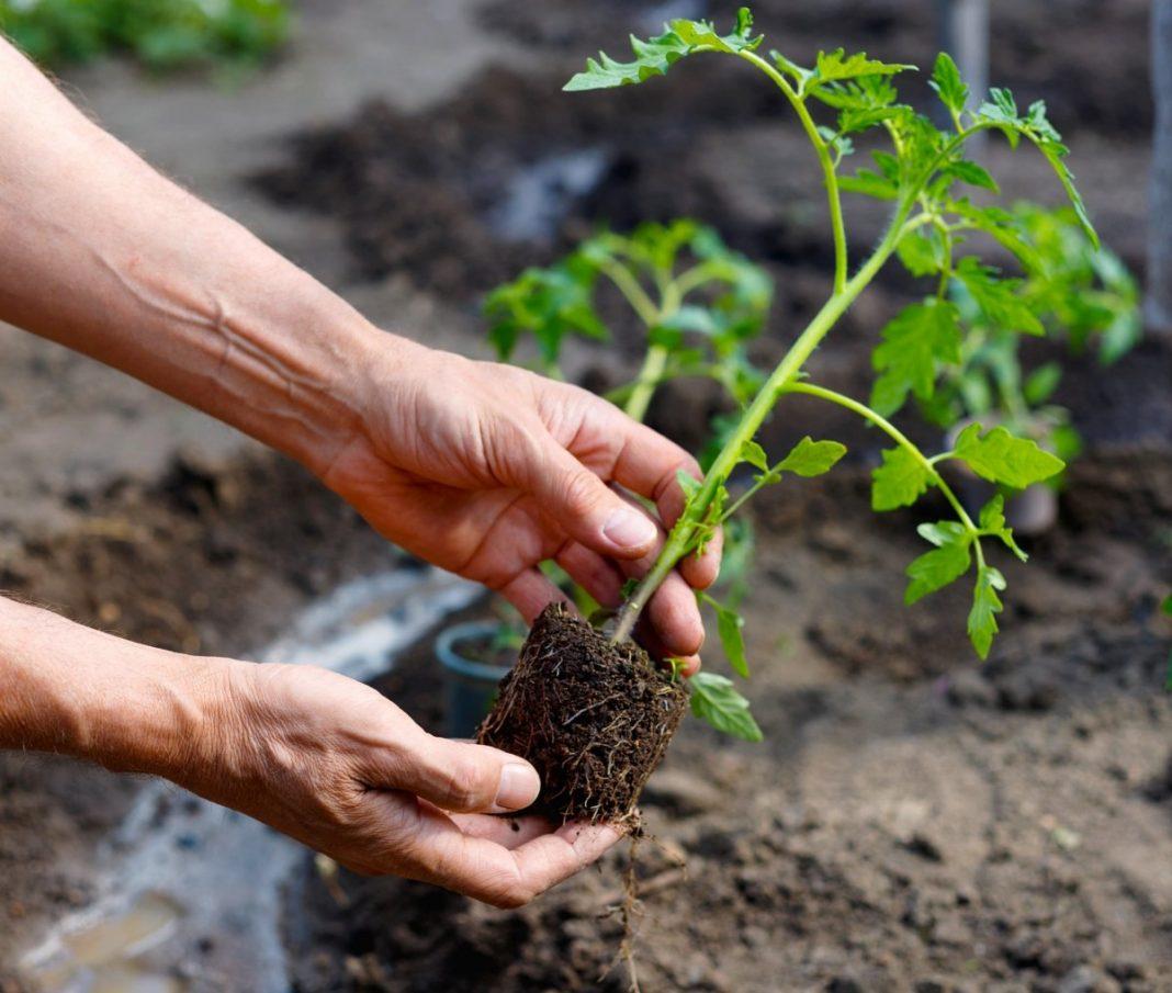 уход за рассадой томата