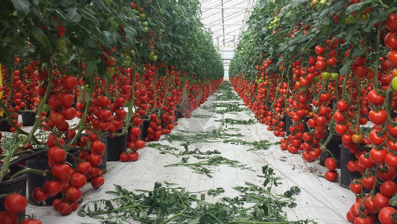 сорта помидор для выращивания в теплице