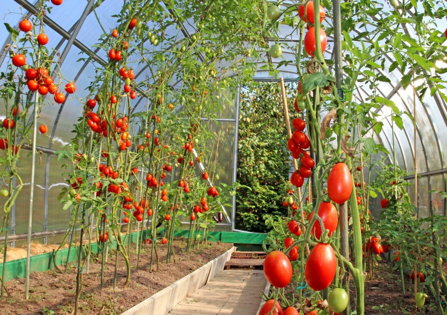 место под теплицу для томатов