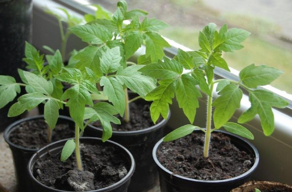 рассада томата для высадки в теплице