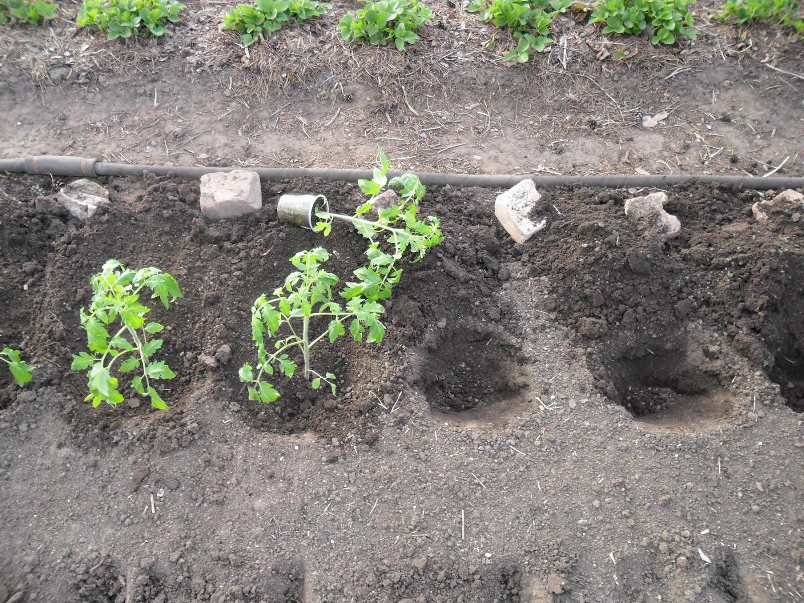 сроки высадки в грунт помидоров