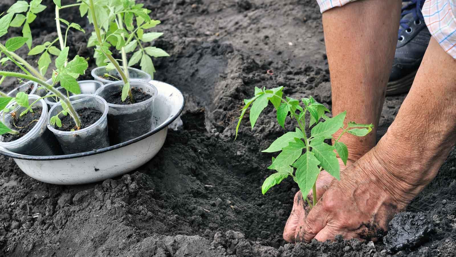 правила посадки помидоров