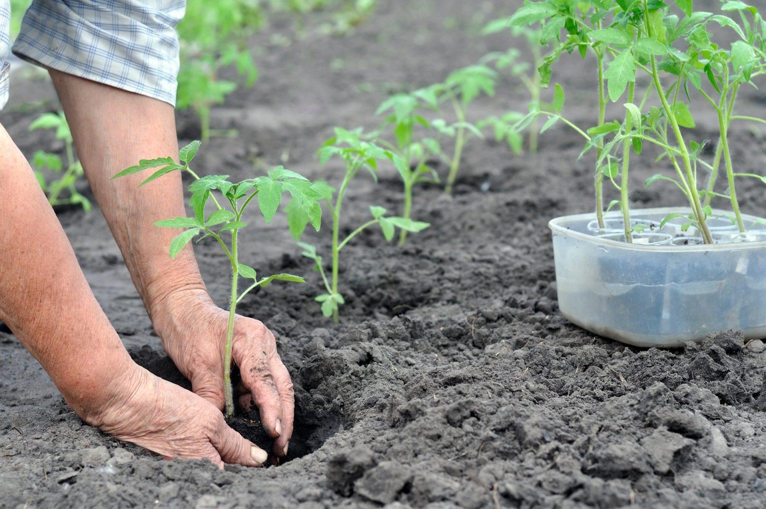 рассадное выращивание помидоров