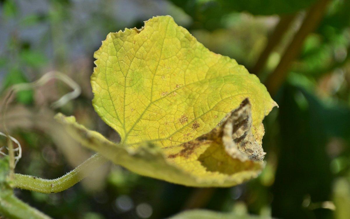 профилактика пожелтения листьев