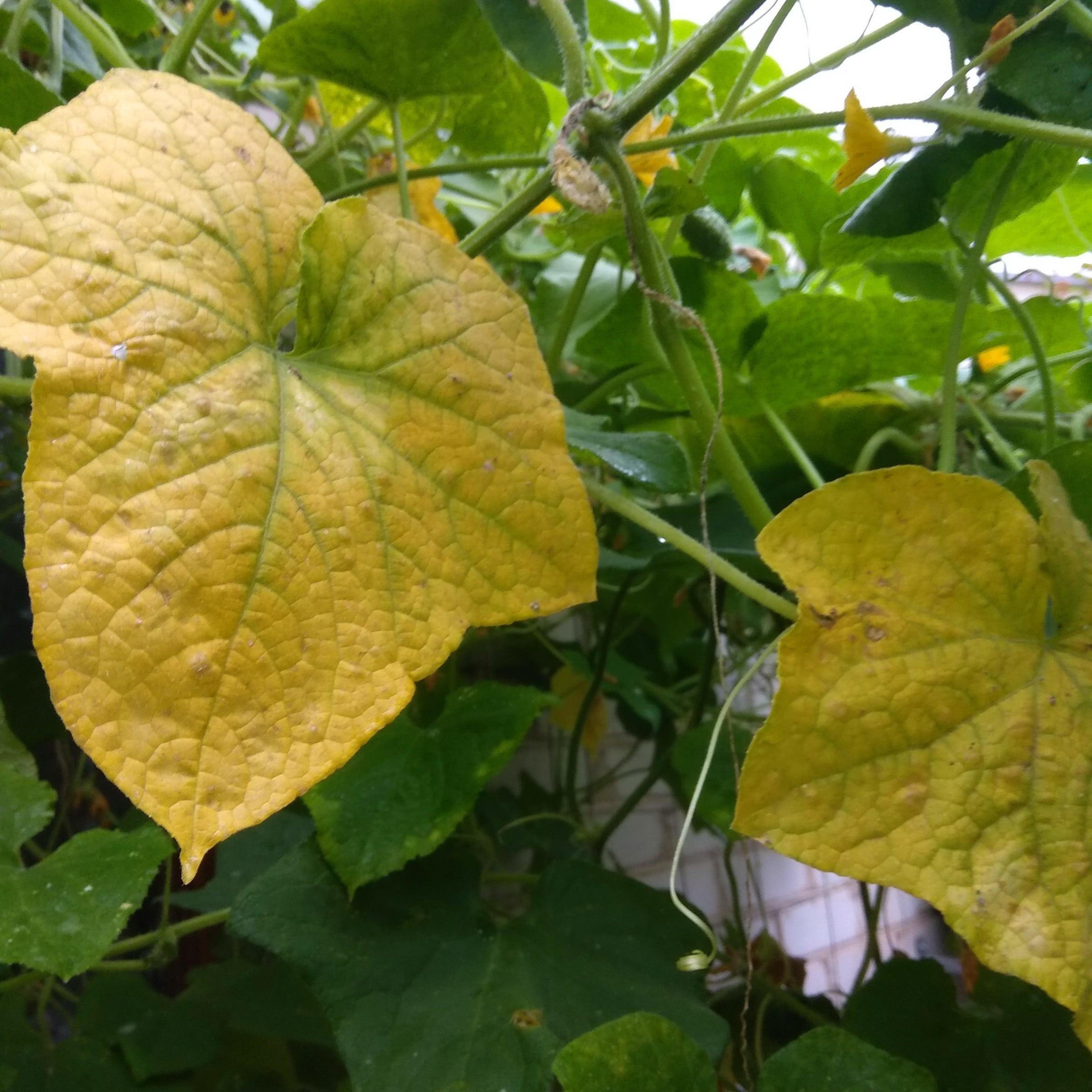 пожелтение листьев огурцов