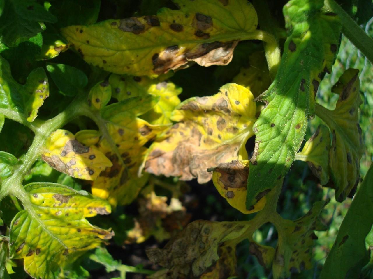 пожелтение листьев от солнца