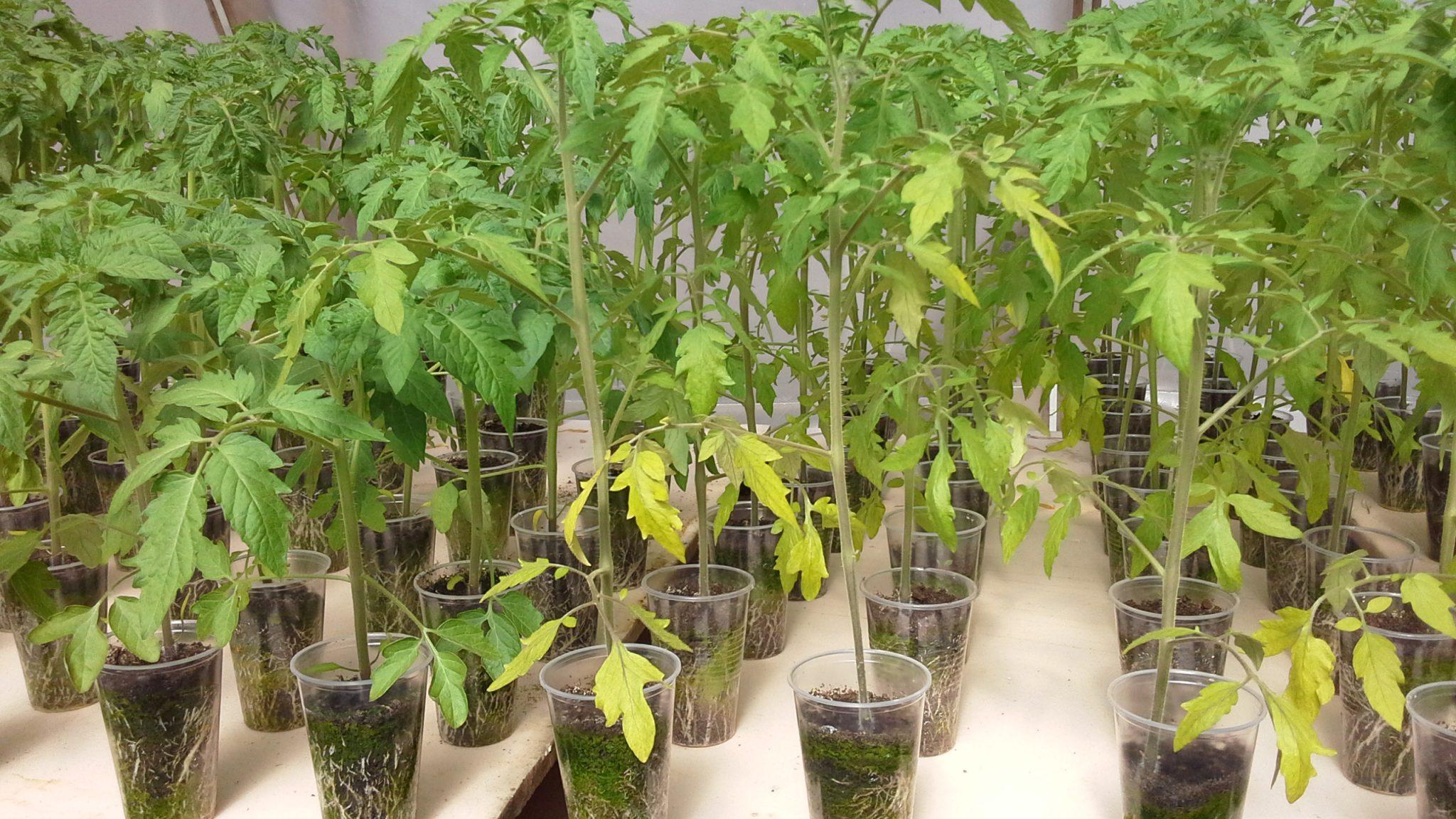 почему опадают листочки у рассады помидор
